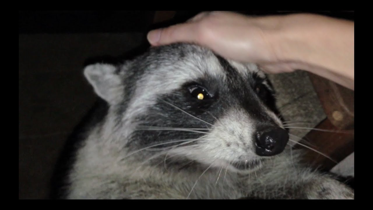 Petting a Tame Wild Ra...R Is For Raccoon