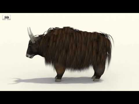 Yak (Bos Grunniens) By 3D Model Store Humster3D.com