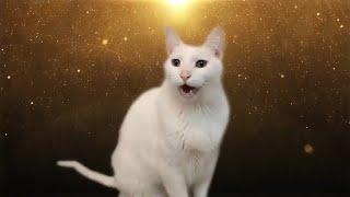 Despacito Kedi Versiyon  🐱