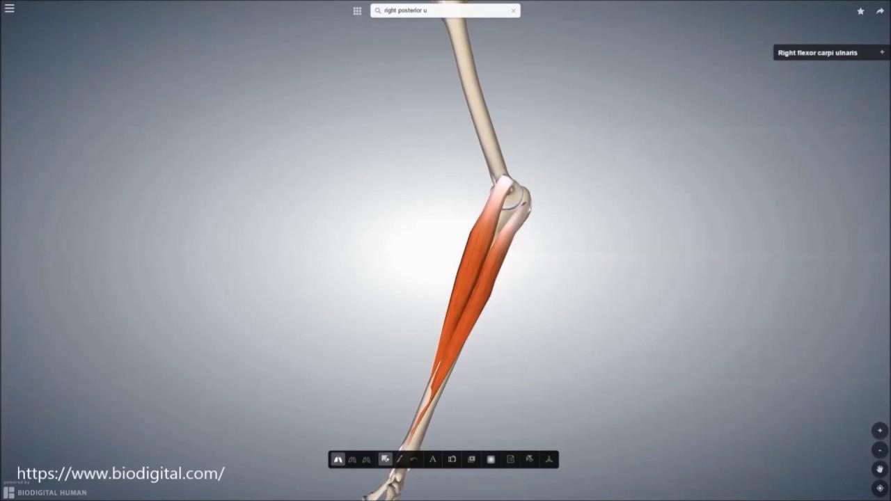 m flexor carpi ulnaris youtube