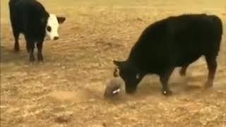 Duck vs Cow Kannada Voiceover