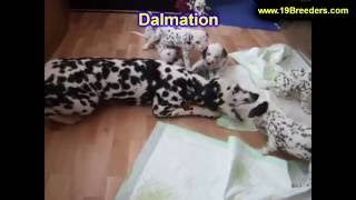 Dalmation, Puppies, For, Sale, In, Lexington, County, Kentucky, Ky, Bowling Green, Owensboro, Coving