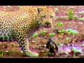Unbelievable: Leopard Hesitates Before Taking Out An Impala Lamb At Birth