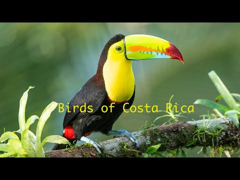 Costa Rican Tanagers, Toucans, Honeycreepers And Oropendolas