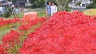 京都府亀岡市の穴太寺周辺でヒガンバナが真っ赤な花を咲かせている。稲...