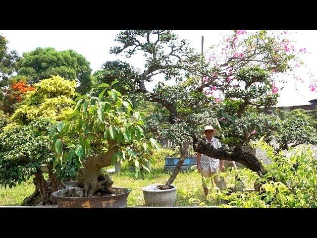Tham khảo cách tạo dáng cây và giá cây tại vườn - Price of bonsai tree in the garden