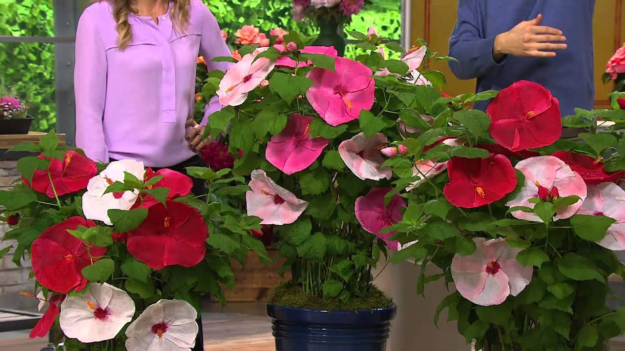 Robertas 3 Pc Top Class Multi Color 2 In 1 Hardy Hibiscus With