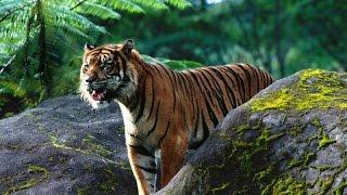 Тигры   красивые, но опасные кошки