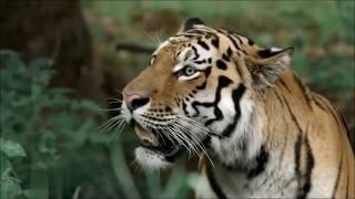 Амурский (уссурийский) тигр. Красавчик!