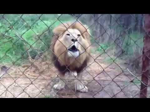 Lion Slap thumbnail