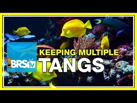FAQ #28: Can I Keep Multiple Tangs In The Same Aquarium?