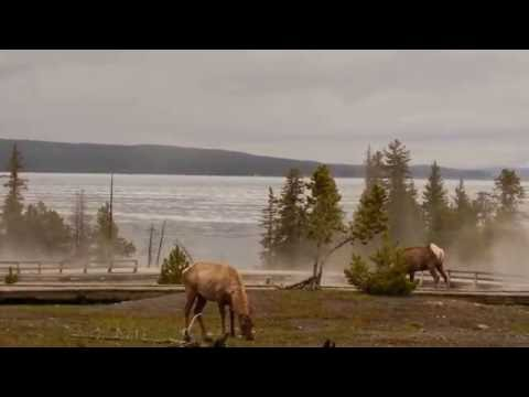Roosevelt Elk - Yellowstone National Park, WY - West Thumb Geyser Basin