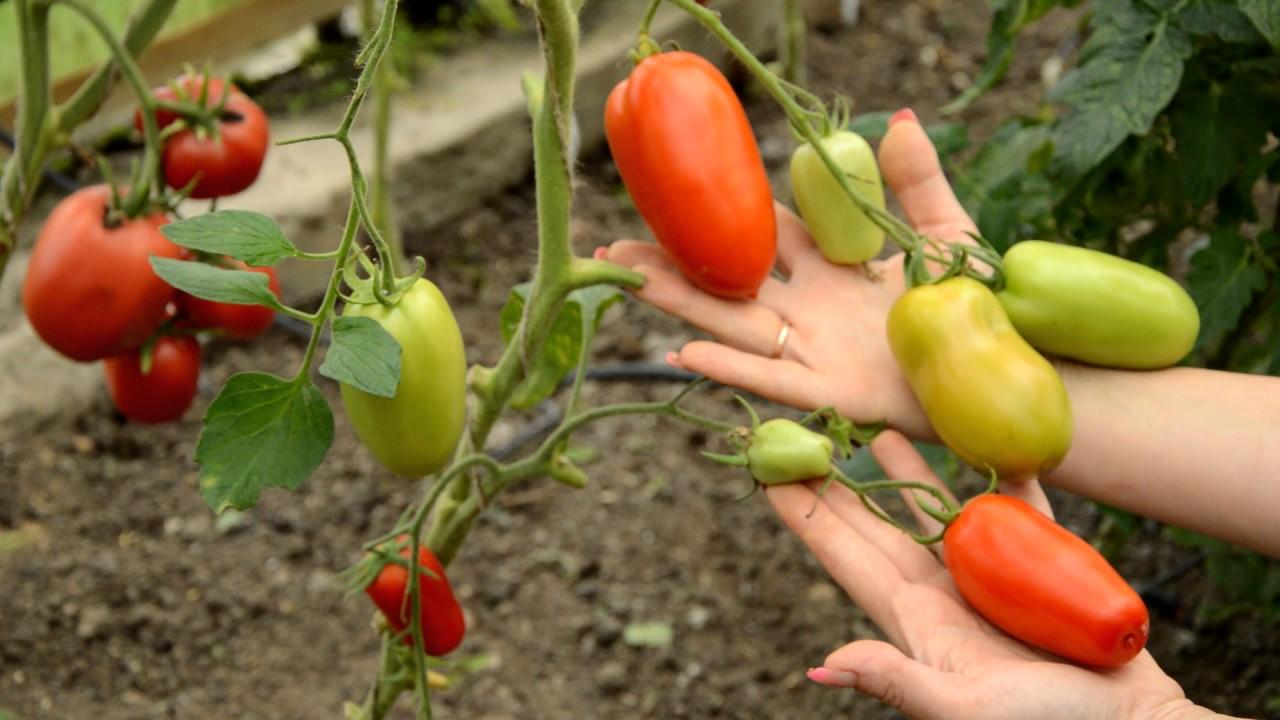 хочется томат хайпил отзывы фото любим хорошо отдохнуть