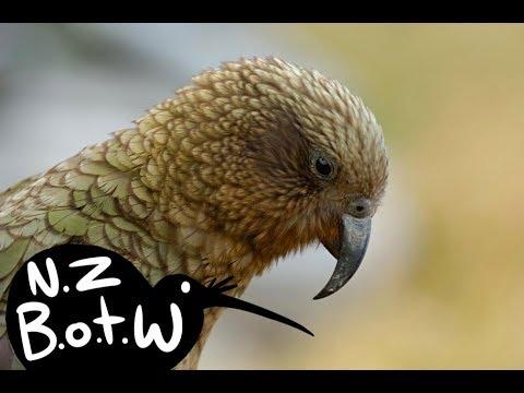 Kea - New Zealand Bird Of The Week
