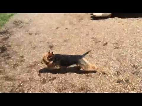 Welsh Terrier Puppy - Adorable Little Pup