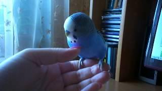 говорящий попугайчик Яша