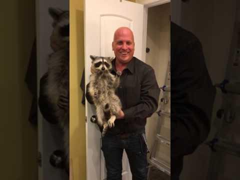 raccoon-in-the-attic---nassau-county,-long-island