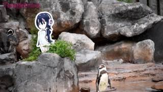 恋路を阻まれるグレープくん - 東武動物公園 フンボルトペンギン Humboldt penguin