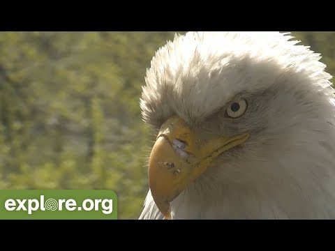 Fitz Facts - Bald Eagle Conservation