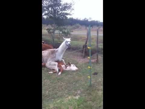 Palomino horse breeding from YouTube · Duration:  1 minutes 10 seconds