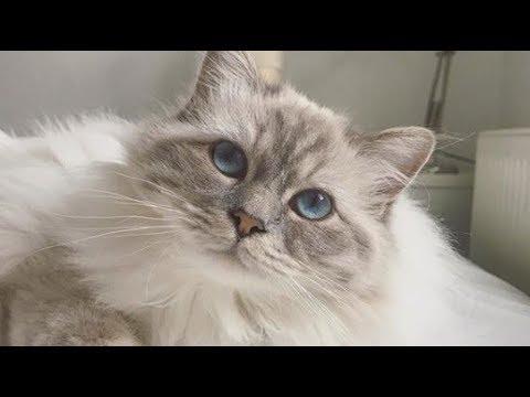 Lovely Birman Cat Meow : So Cute