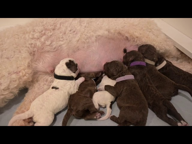 Cannella has 7 puppies!