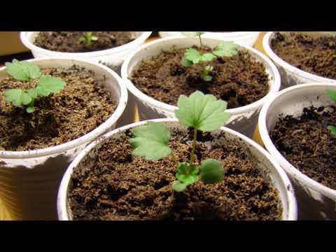 Земляника из семян от посева до урожая