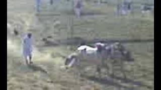 bull race in a village near gujarkhan
