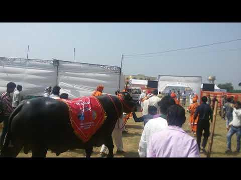 Murrah Bull BADAL with BJP M.P. Shri Rajendra Agarwal ji in Meerut championship.9917835347