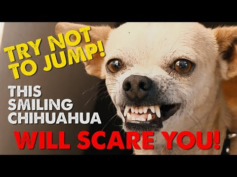 Try Not to Jump!  Scary chihuahua video will make you jump!