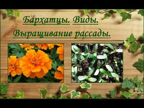 Бархатцы (тагетес)- виды, выращивание рассады