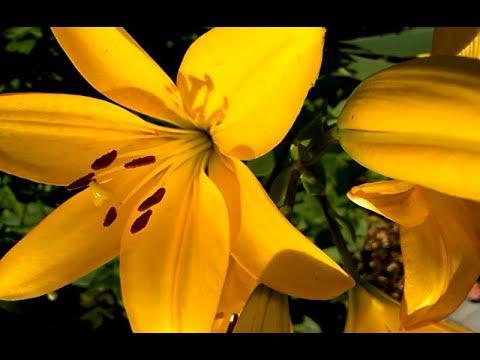 Как Сажать Вырастить Красивые Здоровые Лилии Весной, Осенью. Маленькие Секреты моей бабушки.