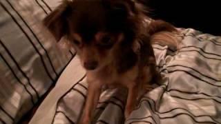 "Talking Chihuahua - Roxie says ""I Love You"""