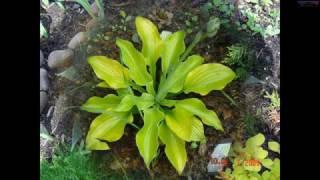 Хосты растения для тенистого цветника