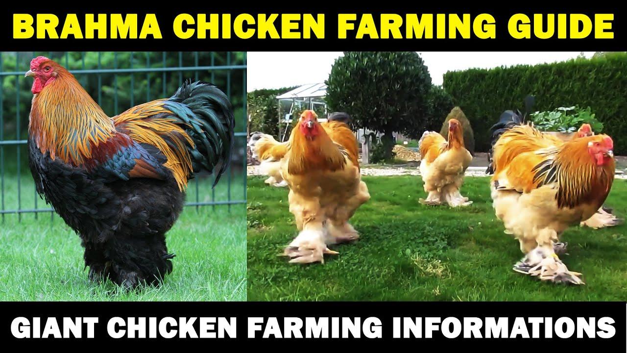 Download BRAHMA CHICKEN FARMING : Business Starting Plan For Beginners   Giant Chicken Farming