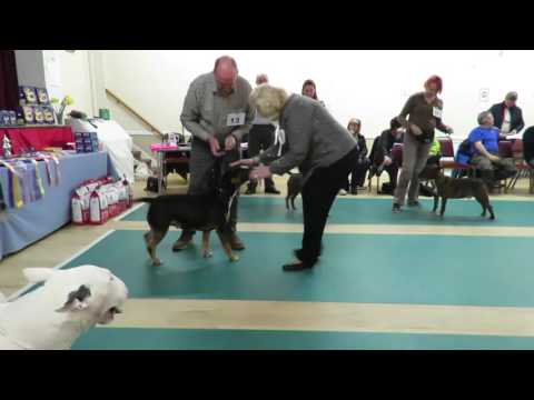 West of England Bull Terrier Club Championship Show March 2016 Post Graduate Dog