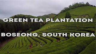 Travel to Boseong Green Tea Plantation, South Korea 보성녹차밭 대한다원