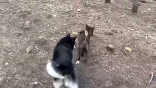 """This is a video of Kai Ken (甲斐犬) Yamabushi no Hazuki """"Hazuki"""" (T..."""
