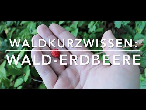 Wald-Erdbeere - Waldkurzwissen