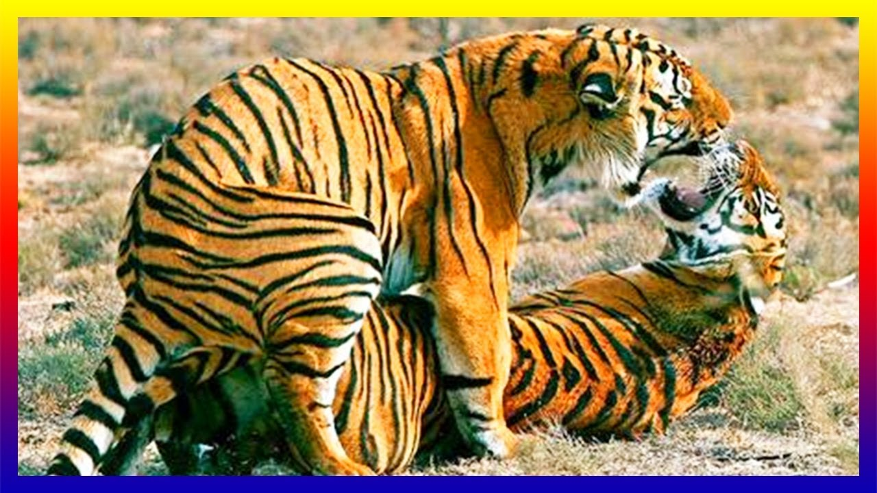 Siberian Tiger Mating Many Times On Day Then Female Giving