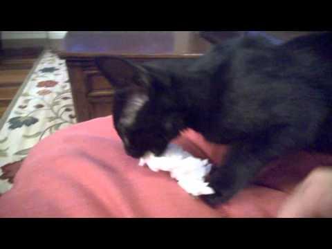 Tailess Manx Kitten Fetching