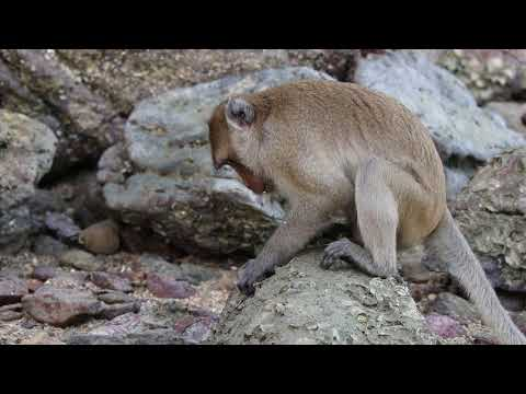 Oyster eating macaque in action (credit Michael Haslam)