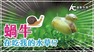 莫名出現的蝸牛在吃水草!? 水草缸的偷渡客。|AC草影水族