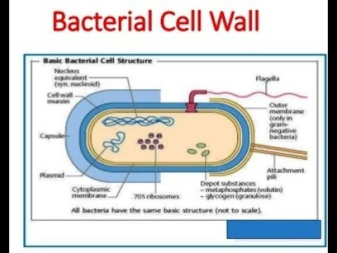 microbiology prokaryotic cell diagram labeled 2007 pontiac vibe radio wiring of bacterial wall youtube