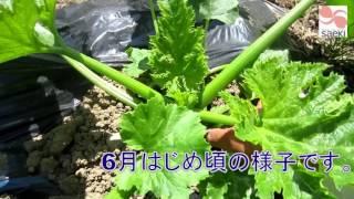 さえきの産直野菜ズッキーニ畑に行ってきました