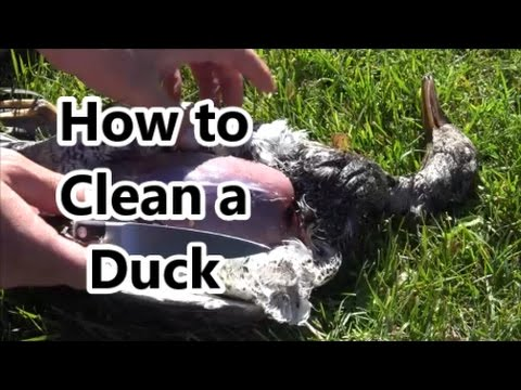 How to clean a duck or geese. Preparing and cleaning to cook your duck. Its easy