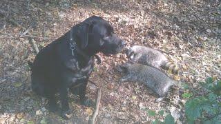 Oktoberjagd 2.Teil Jagd auf Damwild ,Waschbär und Rehwild