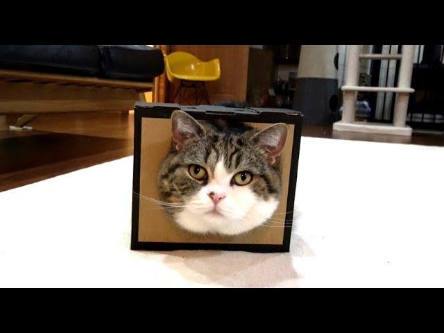 どうしても顔をいれておきたいねこ-maru-insisted-on-putting-on-the-box