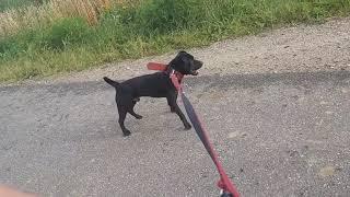 PHARAOH HOUND  Ancient breed created 5,000 years ago? MALTESE RABBIT HUNTING DOG. Estacado terrier