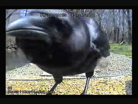 Funny Crow Youtube